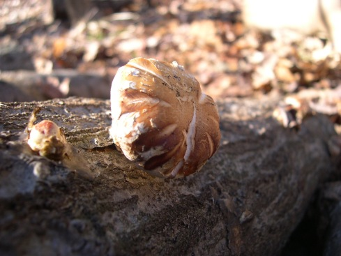 Shitake on a log