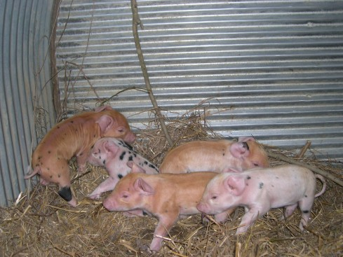 This is the tiny but healthy litter, only two gilts out of the 5.