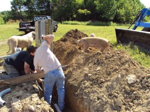 The pigs helped to backfill some of the trench...